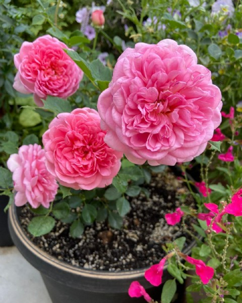 Photo by Heather- Gardener  on June 18, 2021. May be an image of rose and nature.