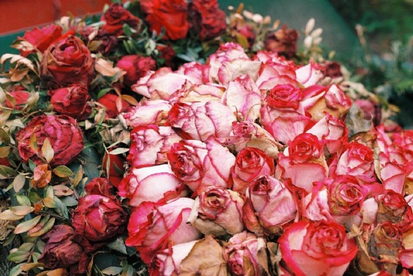Photo by Sulphurous Visions in Zentralfriedhof Friedrichsfelde. May be an image of rose.
