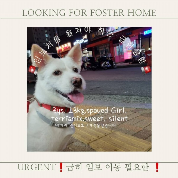 Photo by 아산동물보호연대 (카톡채널 검색 동물보호연대) on July 29, 2021. May be an image of one or more people, dog and text that says 'LOOKING FOR FOSTER HOME 옮겨야 우다 1 00 아안 3s, 13kg,spayed spayed Girl, terriamix,sweet, terriamix silent 매기의 임시보호 /가족을찾습니다 URGENT 급히 임보 이동 필요한!'.