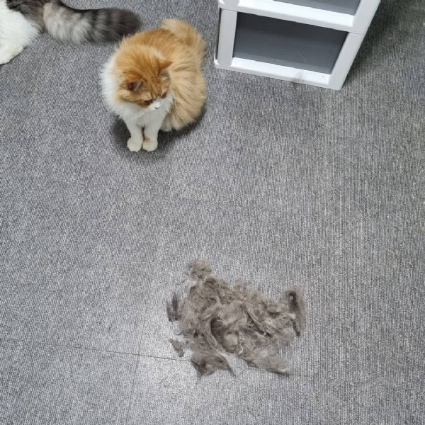 Photo by ㄱㅇ on June 08, 2021. May be an image of Persian cat and indoor.