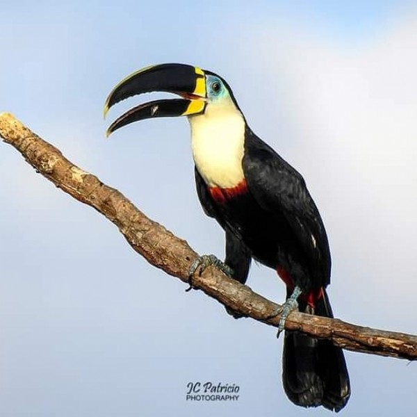 Photo by JC Patrício in Chapada dos Guimarães. May be an image of toucan and nature.