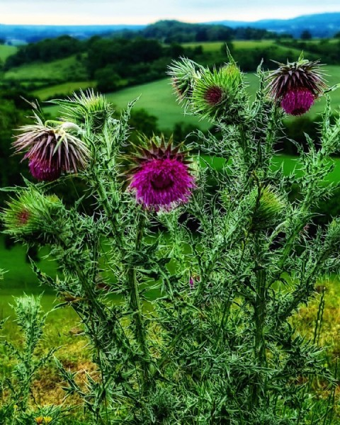Photo by GatsbyMorphitis in Glastonbury, Somerset, United Kingdom. May be an image of teasel and nature.