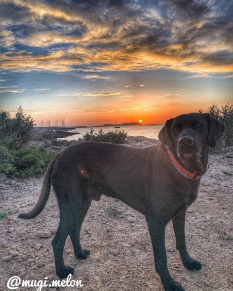Photo shared by Mugi Melon on June 18, 2021 tagging @blacklabradors, @blackdogs_of_instagram, @insta_dog, @black_labradors_, @perrosgram, @beautifuldogs, @labrador_class, @blacklabsgram, @morethanibiza, @dog.buddyz, @labrador.retriever.owners, @paws_nature_love, @natureloversibiza, @mugi.melon.blacklabrador, @vayaperros, @perrosgatoslovers, @sunset_attracts, @sunsetskyphotos, and @sunsetpuppers. May be an image of nature.