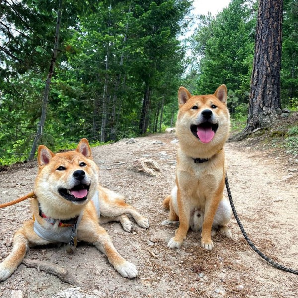 Photo shared by Koopa the Shiba Inu on June 19, 2021 tagging @bosco_the_shiba. May be an image of dog and outdoors.