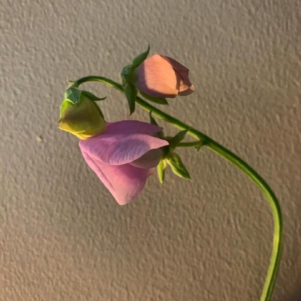 Photo by Catherine on June 18, 2021. May be an image of rose.