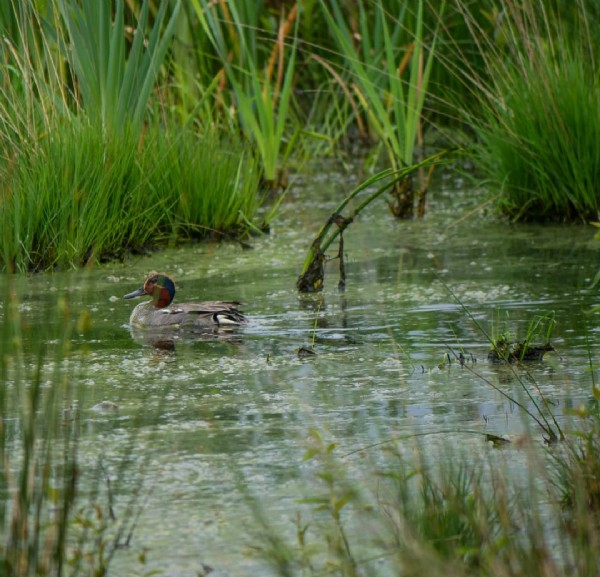 Photo by Andrea Eikmeyer in Hiller - Torf - Moor. May be an image of grebe and nature.