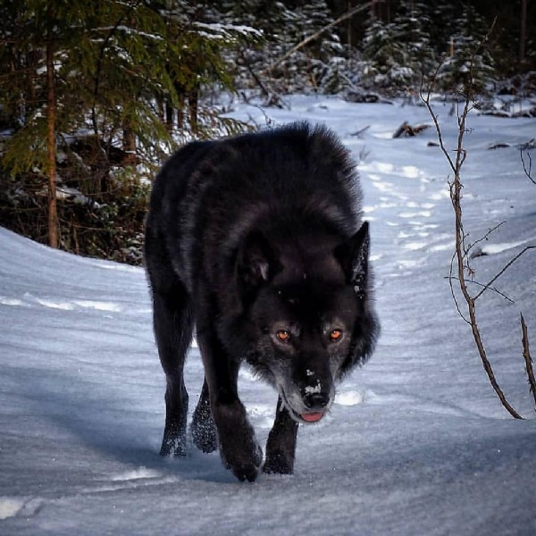 Photo by Wolf king on June 05, 2021. May be an image of dog, nature and snow.