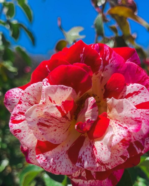 Photo by Rafael Ralph Jimenez on August 02, 2021. May be an image of rose and nature.