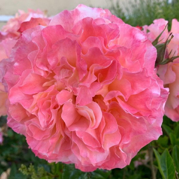 Photo by KMT on June 18, 2021. May be an image of rose and nature.