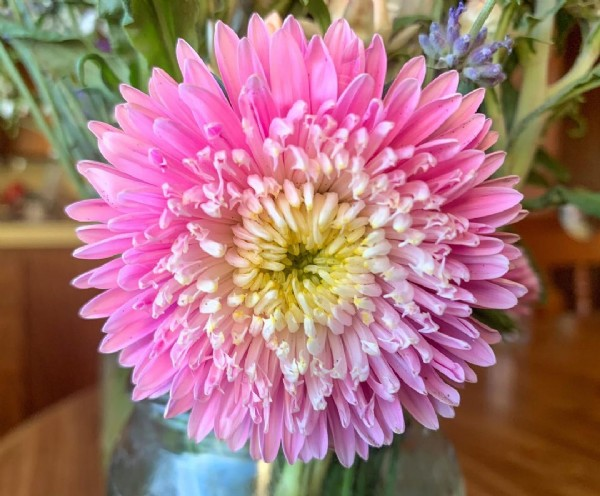 Photo by Flower Farm ~ Sarah Erstrom on June 18, 2021. May be a closeup of African daisy and nature.