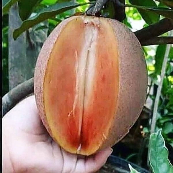 Photo by BIBIT BUAH PUPUK BUAH on August 01, 2021. May be an image of fruit.