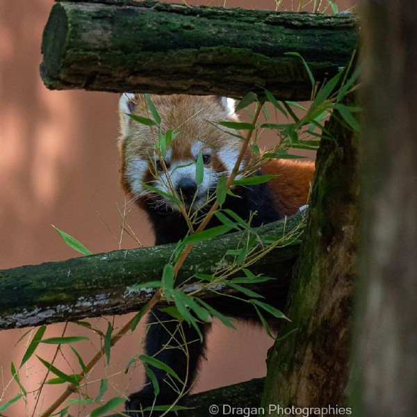 Photo by Dragan Photographies in Parc Animalier de Sainte Croix. May be an image of red panda, outdoors and text that says '© Dragan Photographies'.