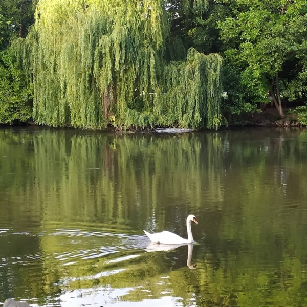Photo by Кайф Страсбург on June 15, 2021. May be an image of swan, body of water and nature.