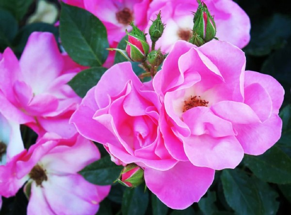 Photo by Maria Teresa Rodriguez Navarra on June 18, 2021. May be an image of rose and nature.