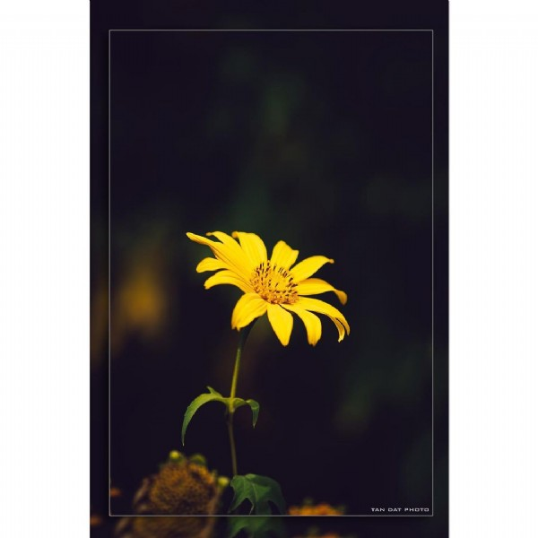 Photo by Đạt Heo photography on August 02, 2021. May be a closeup of African daisy, nature and text.