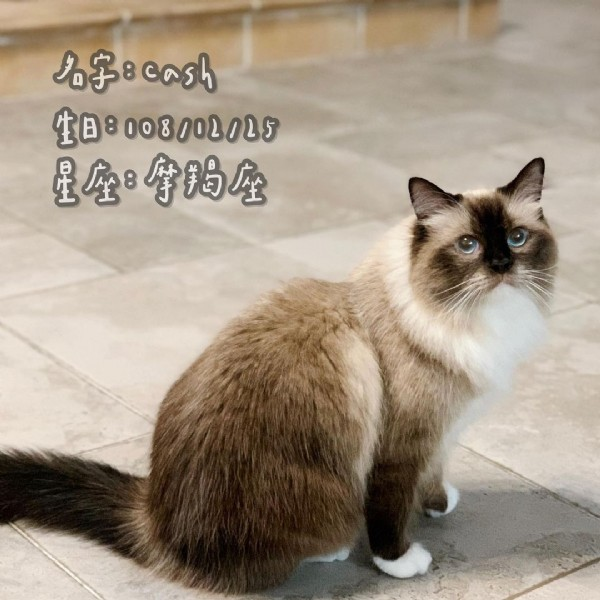 Photo by 喵材生 on July 31, 2021. May be an image of ragdoll cat and text.