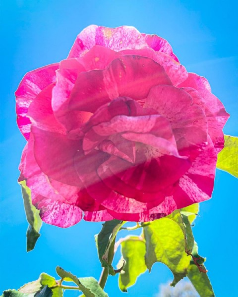 Photo by Rafael Ralph Jimenez on August 02, 2021. May be a closeup of rose and nature.
