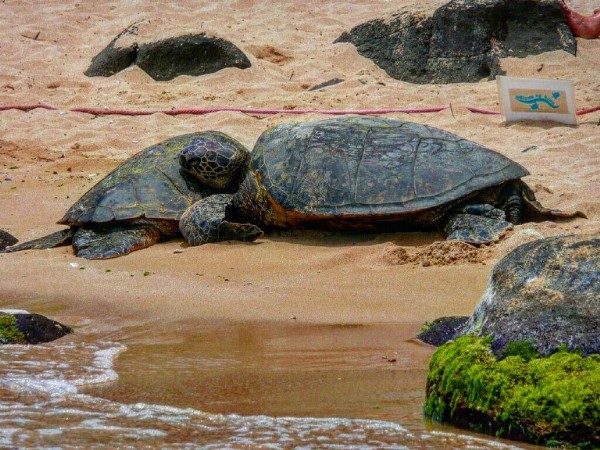 Photo by Honu...Brutus on June 19, 2021. May be an image of tortoise and nature.