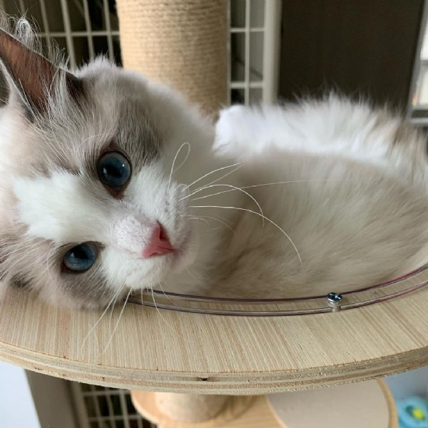 Photo by ♡ラグドール on June 18, 2021. May be an image of ragdoll cat.