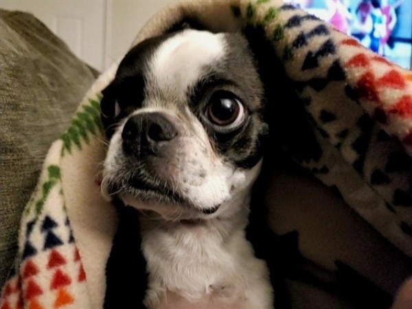 Photo by Boston Terrier on June 07, 2021. May be an image of Boston terrier.