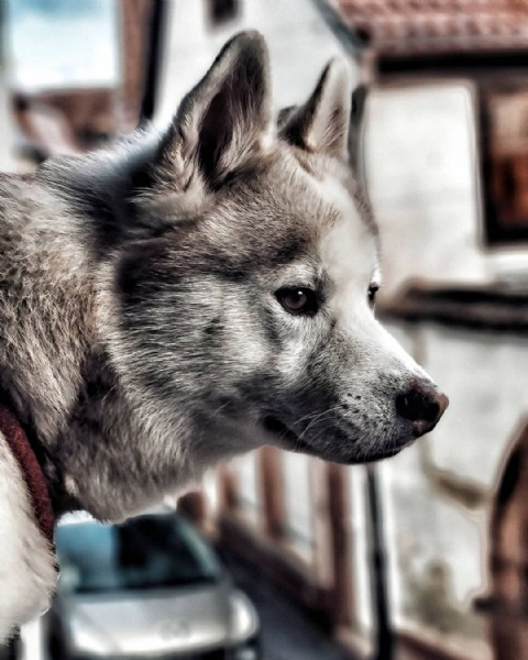 Photo by Hatchi Husky in Alsace, France. May be a closeup of dog.
