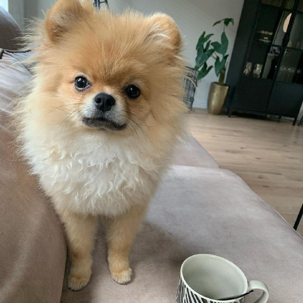 Photo by Young Neyo Amaru (pomeriaan) on July 28, 2021. May be an image of dog and indoor.